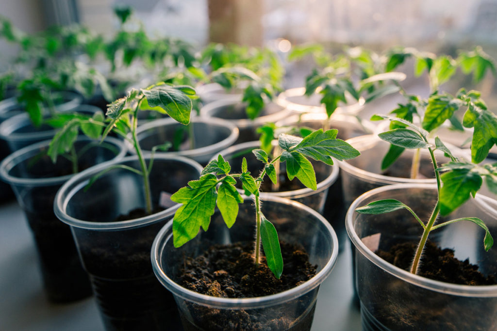 когда садить помидоры на рассаду